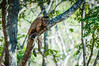 "Bearded Capuchin <a style=""margin-left:10px; font-size:0.8em;"" href=""http://www.flickr.com/photos/41134504@N00/17348744951/"" target=""_blank"">@flickr</a>"