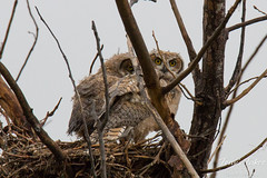 Sibling Great Horned Owl owlets in the nest