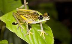 Lemur Leaf Frog (Agalychnis lemur) (Gus McNab) Tags: lemurleaffrog agalychnislemur costarica centralamerica