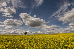 A new friend (grbush) Tags: uk blue england sky tree field yellow clouds rural landscape countryside farm minimalism minimalist lonetree oilseedrape brackley northamtonshire tokinaatx116prodxaf1116mmf28 sonyslta77