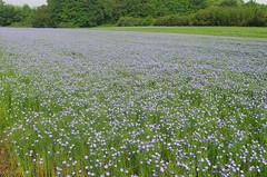 Nazelles-Ngron (Indre-et-Loire) (sybarite48) Tags: blue france flower fleur azul blauw blu linen flor bleu blau lin  blume fiore niebieski  mavi lino bloem iek  linnen kwiat   indreetloire    biancheria    linho keten leinen   bielizna   nazellesngron