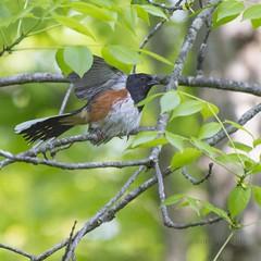Attention Houston, the Towhee has landed. (Carolyn Lehrke) Tags: usa tree green bird woods flight landing foliage wv eastern towhee nikond3200 perching rufoussided greenbriercounty ronceverte greenbriervalley carolynlehrke