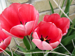 We Four (gabi-h) Tags: pink flowers red plant garden outdoors spring tulips blossoms bloom gabih