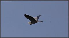 The Pursuit - Need to look closely (CrzyCnuk) Tags: calgary canon dragonfly wildlife alberta greatblueheron canon6d