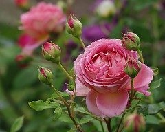 Rose Jubilee Celebration (mamietherese1) Tags: ngc abigfave fabuleuse world100f phvalue 200v200c2000v sublimerose fleursetpaysages