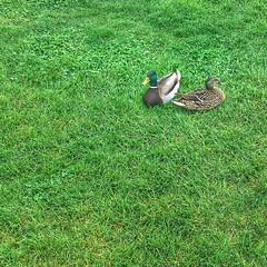 Ducks in the Park 131/366 (j_wrobel) Tags: cameraphone park green grass animals wisconsin square duck flickr ducks mallard lacrosse lacrossewi riversidepark 1x1 iphone fastcamera project366 iphoneography iphone6 iphone366 instagram snapseed