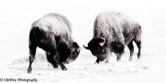 Bison Battle in the Snow (OJeffrey Photography) Tags: snow nikon colorado artistic wildlife highkey bison stylized wildanimals americanbison coloradowildlife bisonfighting d7000 ojeffrey ojeffreyphotography