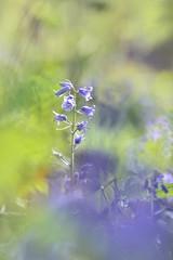 (Leela Channer) Tags: blue england plant blur flower green london nature leaves closeup leaf spring pretty dof purple indigo depthoffield bluebell wandsworth springtime hyacinthoidesnonscripta englishbluebell