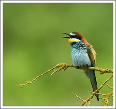 Gupier d'europe (guiguid45) Tags: bird nature nikon loire oiseaux sauvage meropsapiaster europeanbeeeater loiret 500mmf4 d810 gupierdeurope