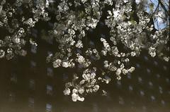 cherry blossom (Yun-Chen Jenny) Tags: nyc newyorkcity spring cherryblossom      whitecherryblossom