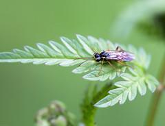 (Pho2s4me) Tags: macro norway no makro akershus insekt vepsbie fredaskogen
