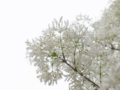 (Over-exposure) (nofrills) Tags: flowers white flower tree green floral whiteflower flora blossom blossoms whiteflowers  chionanthusretusus chinesefringetree