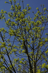 _DSC0904 (wdeck) Tags: trees sony baumblte ahorn sonyalphaslt77 freiburgbrhl zeisssonydt1880mm