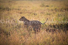 IMG_5330-2 (hcjonesphotography) Tags: africa park elephant black tree nature birds animal umbrella tanzania monkey cub rainbow buffalo jackal eagle crane outdoor lion tent lodge lizard ostrich safari ngorongoro national leopard crater rhino lions zebra cheetah giraffe hippo impala serengeti hyena maasai hornbill stork mongoose wildebeest warthog manyara tarangire dikdik tented