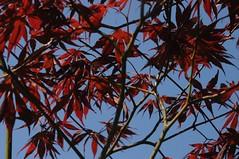 Die roten Bltter eines Japanischen Ahorns (Acer palmatum); Bergenhusen, Stapelholm (20) (Chironius) Tags: trees tree rot germany deutschland rboles boom arbres acer rbol alemania albero bume allemagne arbre rvore baum trd germania schleswigholstein gegenlicht ogie aa  pomie ahorn    niemcy sapindaceae rosids bergenhusen   sapindales stapelholm pomienie hippocastanoideae seifenbaumgewchse seifenbaumartige rosskastaniengewchse szlezwigholsztyn malvids