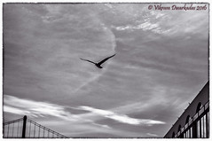 Soaring High... (vdwarkadas) Tags: sanfrancisco seagulls clouds cloudy sony sanfranciscobay sonynex5t