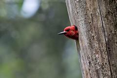 Red-breasted Sapsucker (Gregory Lis) Tags: britishcolumbia coquitlam redbreastedsapsucker sphyrapicusruber minnekhadaregionalpark nikond7200 gorylis gregorylis