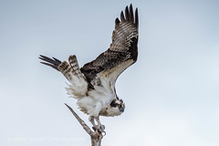 Osprey on the Rideau River (Linda Martin Photography) Tags: ontario canada nature birds animals lock wildlife ottawa ngc npc osprey pandionhaliaetus rideaucanal rideauriver coth rideaulake nicholsons rideauferry coth5 andrewsville