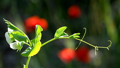 Les pois sont rouges (GCau) Tags: france goldfish joke poppies peas provence pois coquelicots gecau