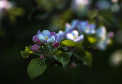 in the last rays (Varvara_R) Tags: pink flowers light white flower apple fleur spring shadows blossom ngc lowkey
