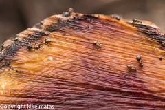 Hormiguitas (kike.matas) Tags: macro textura nature hormigas tokina animales tronco andorra pirineos rialp andorre ordino principatdandorra tokinaaf100mmf28macro  kikematas canoneos6d lightroom4