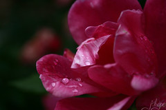 (EburneanLace) Tags: pink roses flower nature water rain rose closeup garden photography stillife waterdrops