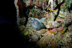 Spotted Muray Eel (Wim Bollein) Tags: ocean water colors animals underwater sony scuba diving caribbean spotted eel curaao nightdive muray ikelite oceanencounters rx100mii