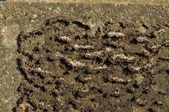 Ants nest (N'GOMAPHOTO) Tags: nest ants larvae