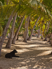 Dog relaxing on Cooper Island (3scapePhotos) Tags: travel sea vacation dog beach animal animals vertical island islands sailing relaxing virgin cooper beaches tropical british caribbean tropics bvi britishvirginislands cooperisland