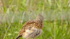 Skylark (Alauda arvensis) (ToxicWeb) Tags: uk bird birds lumix scotland video angus panasonic gb arbroath skylark lark alaudaarvensis panasoniclumix tz40