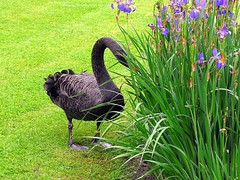 The black swan (photographed in Rivierenhof Deurne), Belgium (jackfre2) Tags: bird swan belgium antwerp blackswan deurne rivierenhof rivierenhofpark