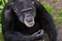 Greybeard (greenzowie) Tags: animal mammal zoo edinburgh chimpanzee edinburghzoo 2016 photographyworkshop greenzowie