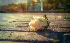 . (Alex-Bell) Tags: city sun rose square russia bokeh admiralty  voronezh    strit