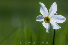 Narcissus poeticus (iwanvh) Tags: art nature artist photographer biodiversity iwan photographe naturalist naturaliste environement iwanvh vanhoogmoed wwwiwanvhcom