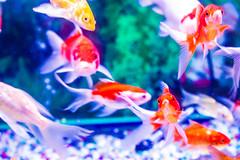 /Goldfish (CK_Hsiao) Tags: canon eos goldfish taiwan photograph taichung dali      60d