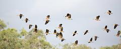 ganzen (harry de haan) Tags: canon geese australia ganzen queensland goedgekeurd ellyhartgring photographedbyellyhartgring