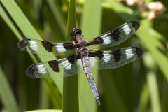 twelve-spotted skimmer (Jeff Mitton) Tags: animal insect dragonfly odonata anisoptera libellulapulchella twelvespottedskimmer wondersofnature earthnaturelife
