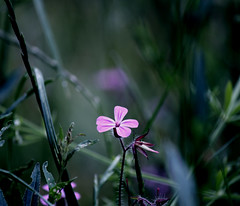 Herb robert (GillK2012) Tags: geraniumrobertianum herb nature wildflower herbrobert