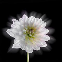 Shining (Inna Karpova) Tags: dahlia flower doubleexposure