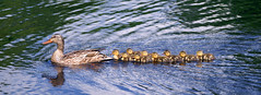 Anas platyrhyncos Female and Young (oldoinyo) Tags: water swimming ducks chicks mallards brood