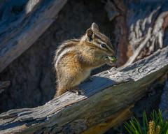 Chipmunk (grits2go) Tags: yellowstonenationalpark wyoming unitedstates us chipmunks