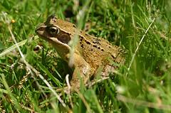 Basking Common Frog (RobK5) Tags: animals wildlife amphibian frog basking scaly ukwildlife