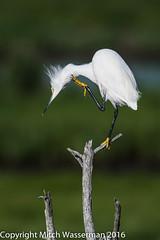 Snowy Egret Balancing on Branch-4841 (mwasserman) Tags: bird nature water snowy wildlife reserve shore egret forsythe