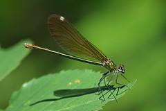 libe1 (bidueiro) Tags: naturaleza insectos macro macrofotografa