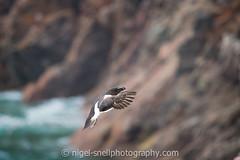 DSC_7109-2 (nigelsnell) Tags: birds razorbillalcatorda salteeisland bird flight ononesoftware photo10