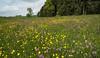 Vernal blossom near Wippenhausen (Bernhard_Thum) Tags: nature bayern bavaria spring blossom natur meadows bloom freising carlzeiss frühjahr zf thum landscapesdreams alemdagqualityonlyclub distagont2821 distagon2128zf nikond800e bernhardthum wippenhausen