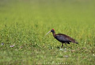 Red-Naped Ibis (Sialkot)