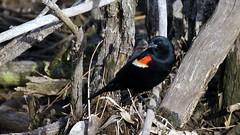 Red-winged Blackbird, Miller Creek, 05/04/15 (TonyM1956) Tags: tonymitchell duluth stlouiscounty minnesota nature birds millercreek blackbirds redwingedblackbird sonyphotographing sonyalphadslr