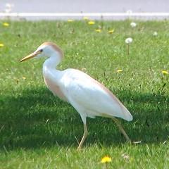 Cattle Egret (TaylorSturm) Tags: birds spring birding migration rare egrets nybirds