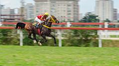 Grande Prmio SP 2015 (mcvmjr1971) Tags: brasil nikon sopaulo cavalo corrida f18d nikkor85mm turfe d7000 mmoraes jockeyclubcidadejardim